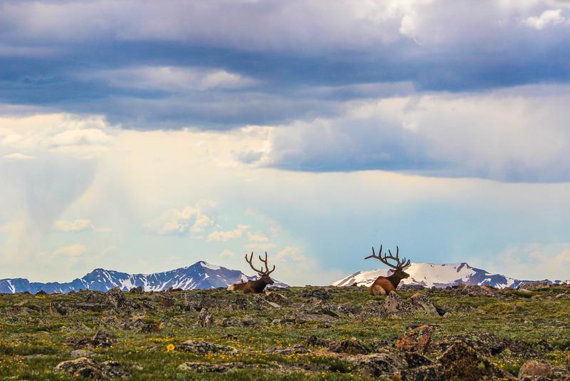 Bull Elk CO