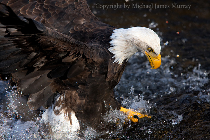 Essence of an Eagle, Juneau, Alaska.