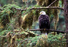Old Warrior, Bald Eagle, Anan Creek, Alaska