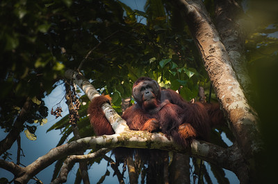 King  Of The Tree's - Borneo
