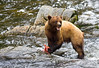 Feasting Brown Bear, Anan Creek, Alaska