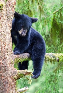 Waiting for mama, Black Bear Cub, Anan Creek, Alaska.