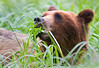 Brown Bear feeding on Spring Sedge, Pack Creek, Admiralty Island, Alaska.