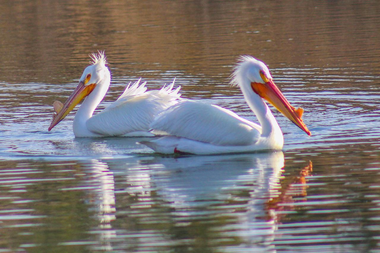 Pelicans WY