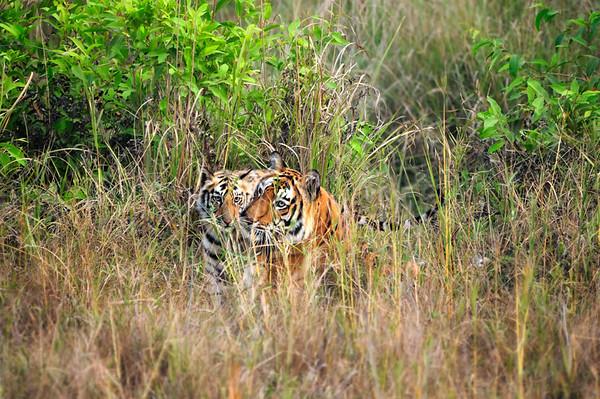 Tigress and Cub - India