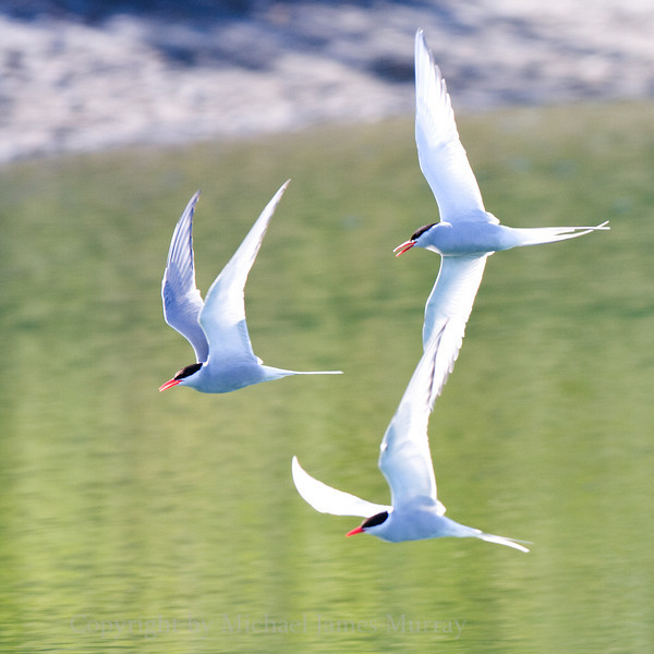 Trio of Arctic Terns.  These birds have the longest known migration route of any animal - 23,000 miles.  Mendenhall Lake, Juneau, Alaska.