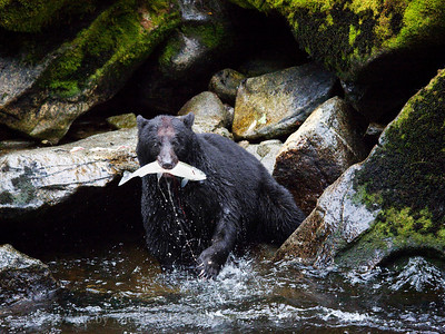 Fresh Catch, Black Bear, Anan Creek, Alaska