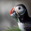 Puffin with Eels, Iceland