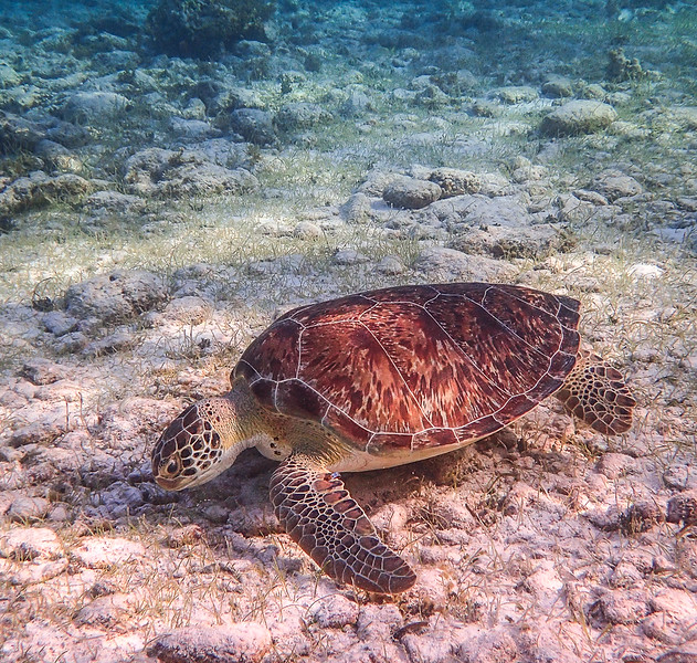 Green Sea Turtle, Grand Cayman