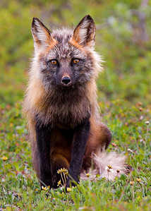 Arctic Fox, Denali National Park