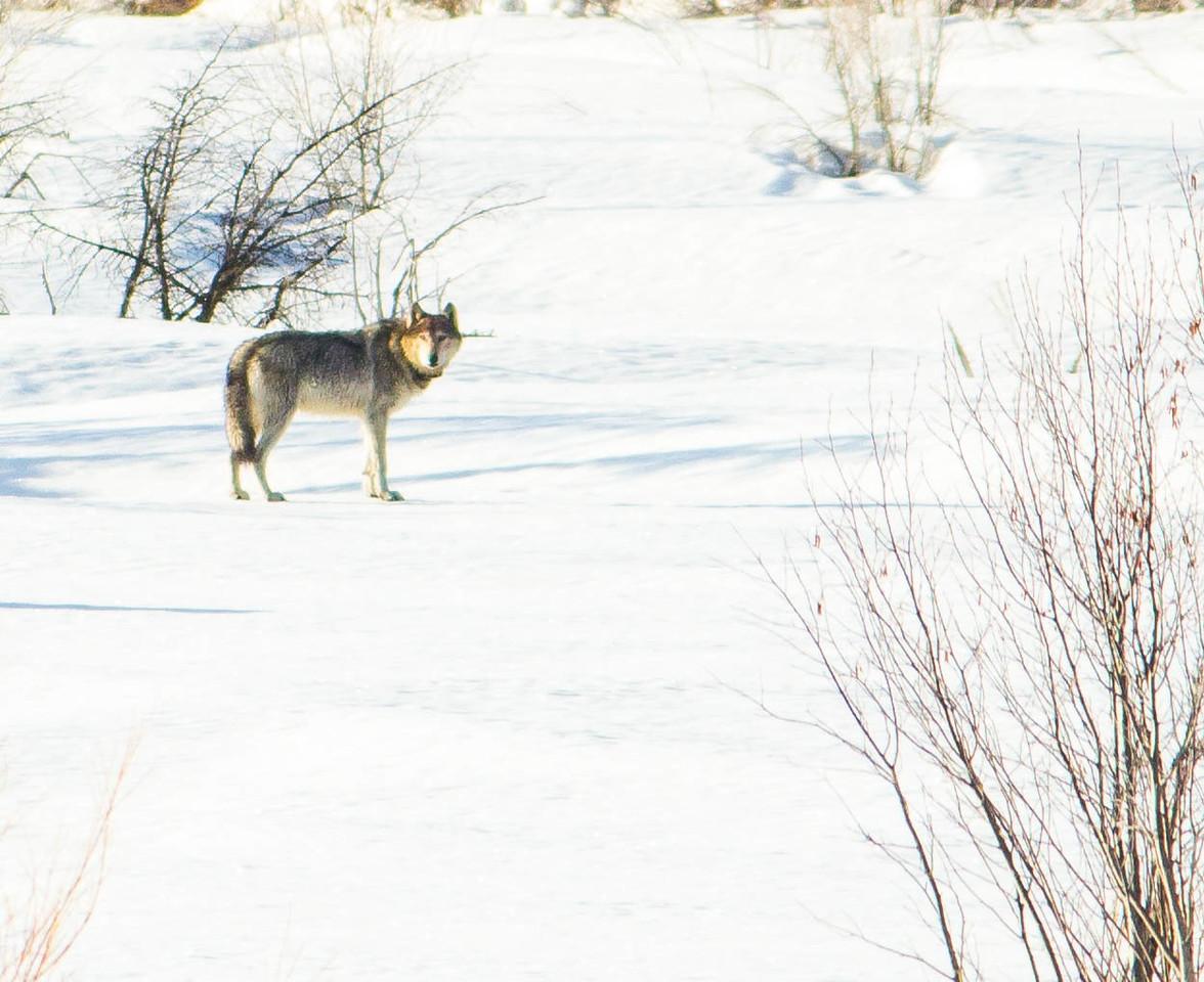 Grey Wolf WY