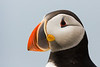 Atlantic Puffin, Machias Seal Island, Maine.