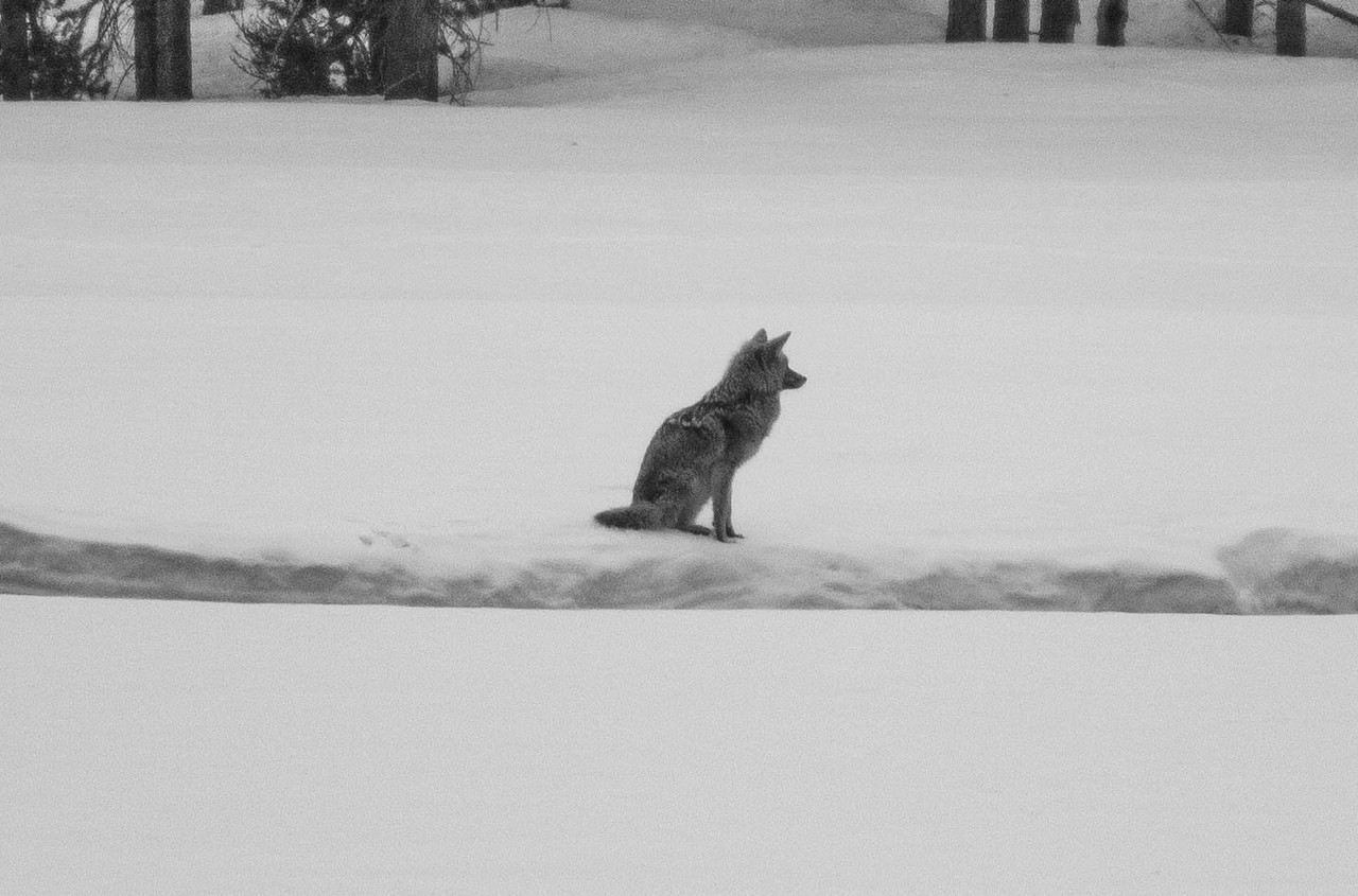Coyote Contemplation