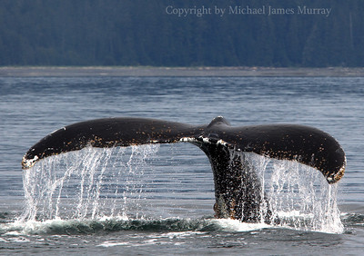 Whale Tail in Frederick Sound, Alaska