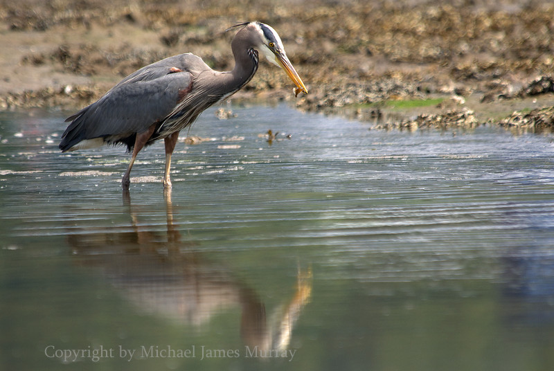 Great Blue Heron with Snack, Gastineau Channel, Juneau, Alaska
