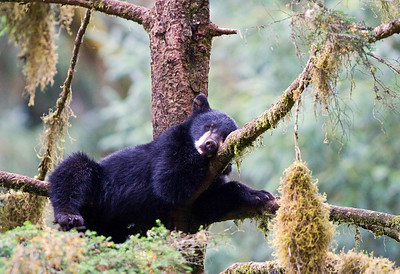 Sleepy Black Bear Cub, Anan Creek, Alaska