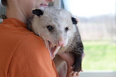Opie the Opossum!