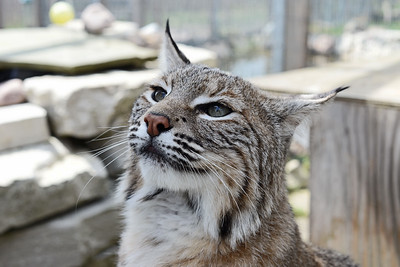 Boris the Bobcat!
