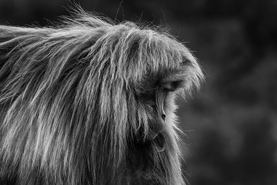 Gelada at SImien Mountains