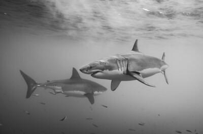 Great White Sharks Dance