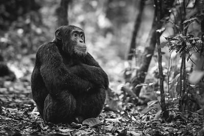 Chimpanzee bnw