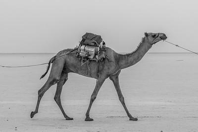 Danakil Depression Camel, Ethiopia