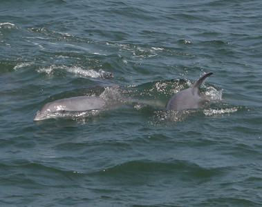 ATLANTIC BOTTLE NOSE DOLPHINS