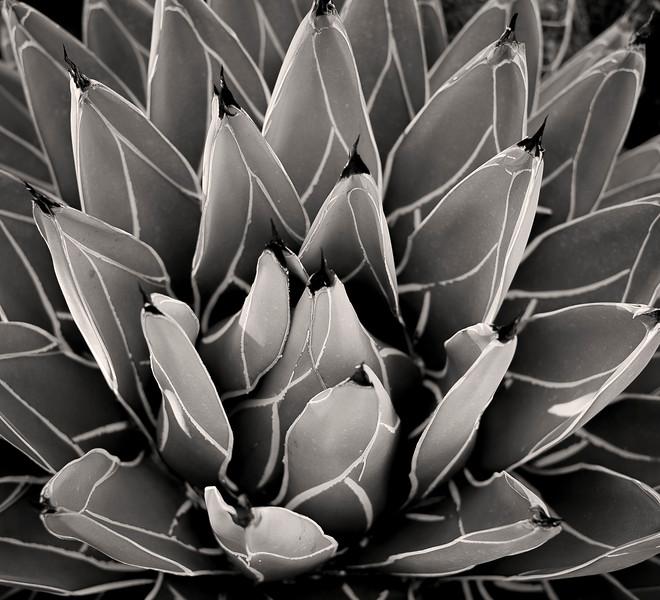 Cactus plant, Huntington Grounds, San Marino, CA