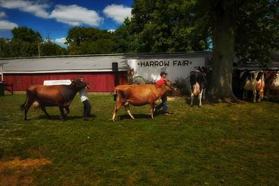 Prize cows