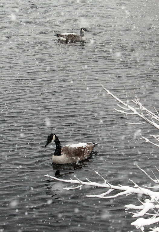 . Canada geese in the snow on Marginal Brook by North Billerica Road in Tewksbury. (SUN/Julia Malakie)