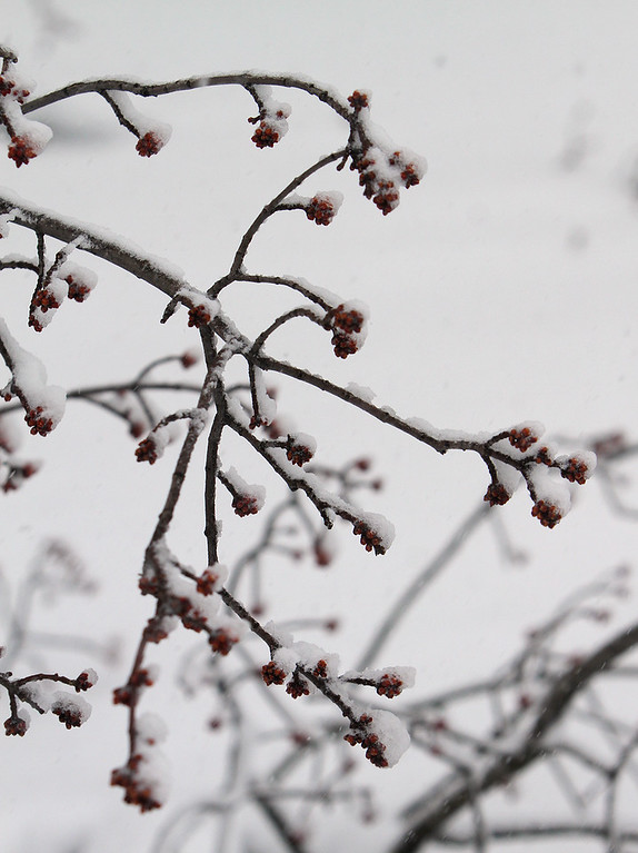 . Maple tree buds (probably red maple) on limb broken from last storm on Pages Court in Billerica. (SUN/Julia Malakie)