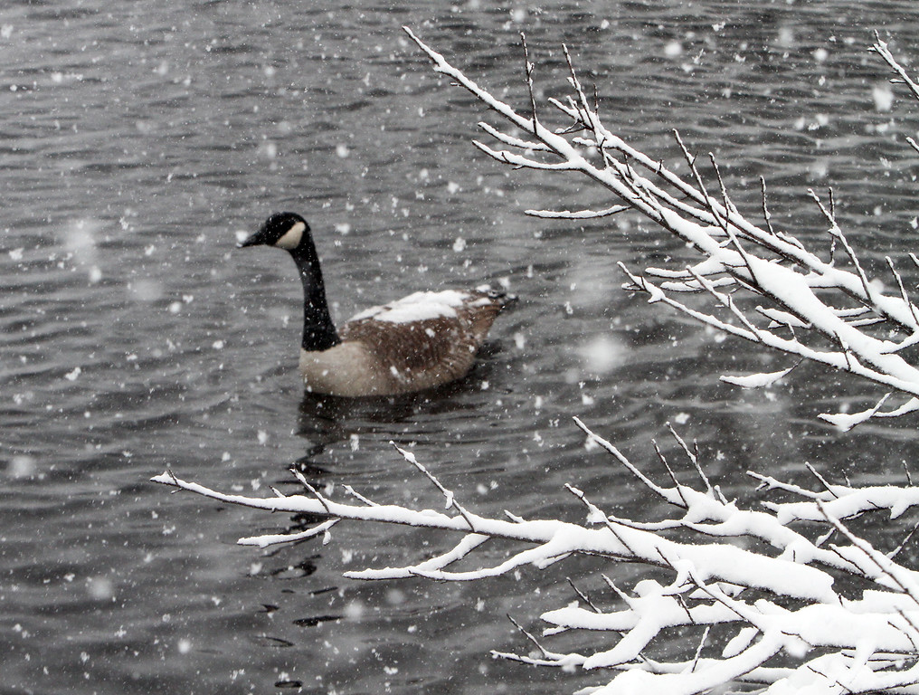 . Canada goose with snow on its back, on Marginal Brook by North Billerica Road in Tewksbury. (SUN/Julia Malakie)