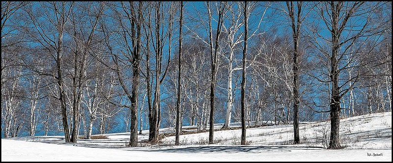 Winter Birches skyline #4