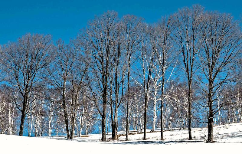 Winter Birches skyline