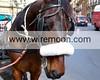 Sicilian Cart Horse, Quattro Canti in Maqueda Street, Palermo.