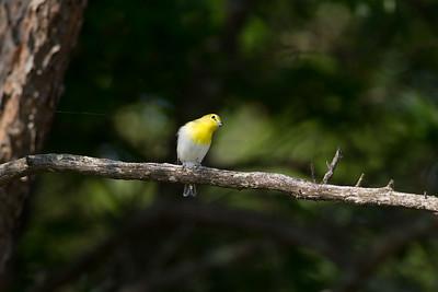 Yellow-throated Vireo Crex Meadows Grantsburg WI IMG_0339