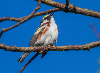 Chestnut-sided Warbler Crex Meadows Grantsburg WI IMG_0196