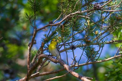 Yellow-throated Vireo Crex Meadows Grantsburg WI IMG_0335