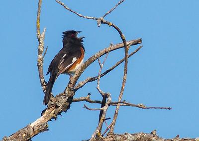 Eastern Towhee male Crex Meadows Grantsburg WI IMG_0209