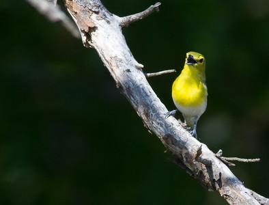 Yellow-throated Vireo Crex Meadows Grantsburg WI IMG_0304