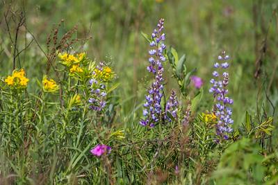 Lupinus perennis Wild Lupine Crex Meadows Grantsburg WI IMG_0375