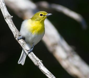 Yellow-throated Vireo Crex Meadows Grantsburg WI IMG_0324