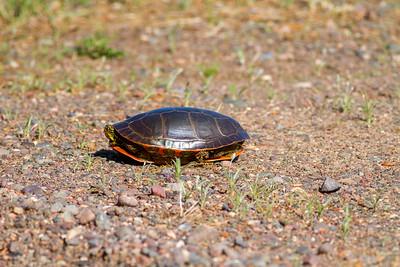 Painted Turtle Crex Meadows Grantsburg WI IMG_0265