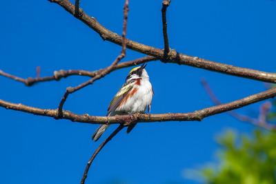 Chestnut-sided Warbler Crex Meadows Grantsburg WI IMG_0195