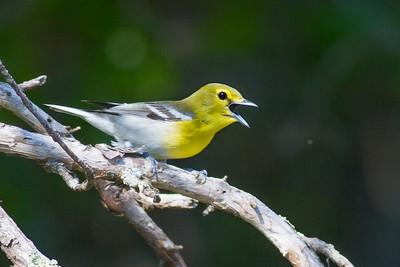 Yellow-throated Vireo Crex Meadows Grantsburg WI IMG_0293