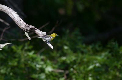 Yellow-throated Vireo Crex Meadows Grantsburg WI IMG_0312