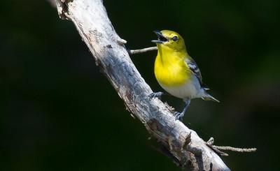Yellow-throated Vireo Crex Meadows Grantsburg WI IMG_0299