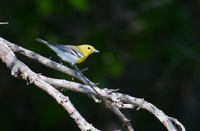 Yellow-throated Vireo Crex Meadows Grantsburg WI IMG_0283