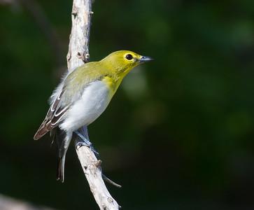 Yellow-throated Vireo Crex Meadows Grantsburg WI IMG_0329