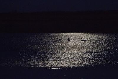 Trumpeter Swan trio moonlight keyhole silhouette Crex Meadows Grantsburg WI IMG_2380